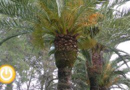 El escarabajo picudo rojo obliga a talar 12 palmeras en Badajoz desde 2014