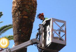 El Ayuntamiento prueba un nuevo producto contra el picudo rojo en las palmeras de San Francisco